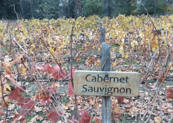 Plantação de uvas na vinícola Concha y Toro, no Chile