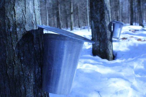 Processo de produção natural do xarope de Maple
