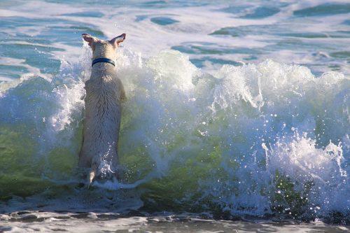 Cão brincando no mar