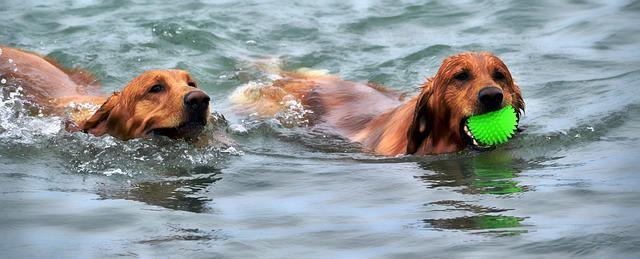 Cães na água com uma bola