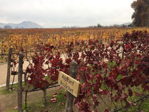 Parreiras da vinícola Concha Y Toro
