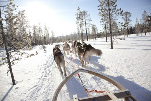 Trenó puxado por cães na Finlândia
