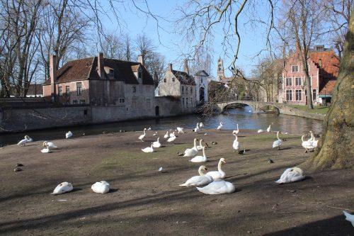 Cisnes no Lago do Amor em Bruges