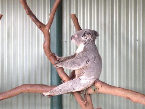 Coala no galho em Sydney
