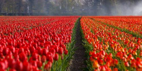 Tulipas vermelhas e laranjas na Holanda
