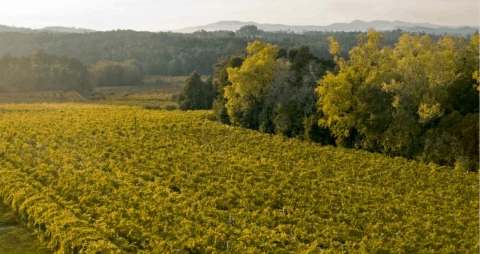 Plantação de vinhas e montanhas ao fundo