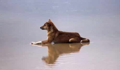 Lobo australiano na praia