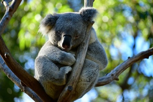Coala na Austrália