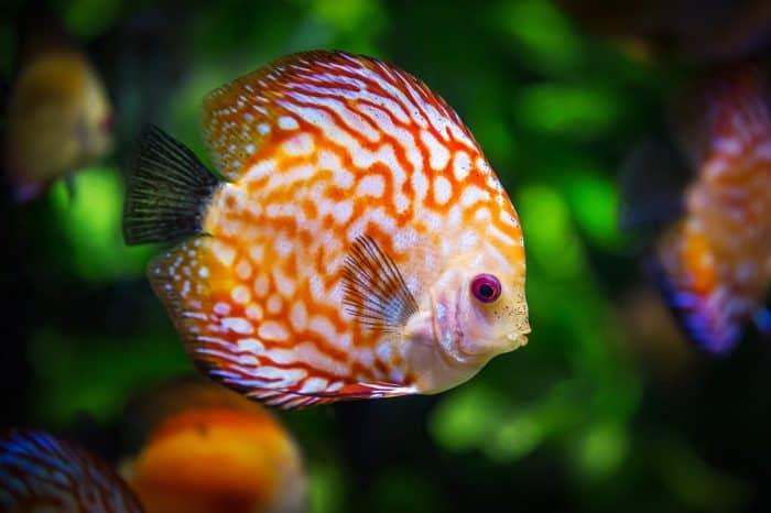 Peixe colorido nadando em aquário