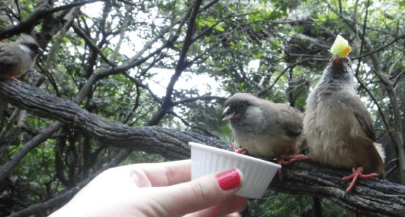 Dando fruta para os pássaros