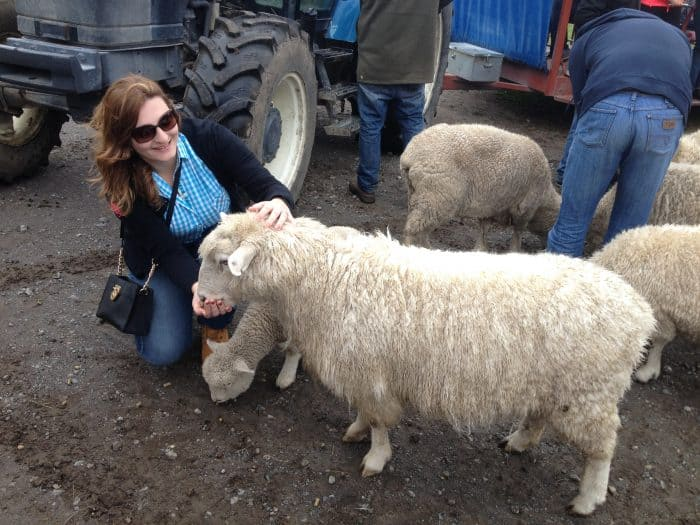 Turista alimentando ovelha em Agrodome
