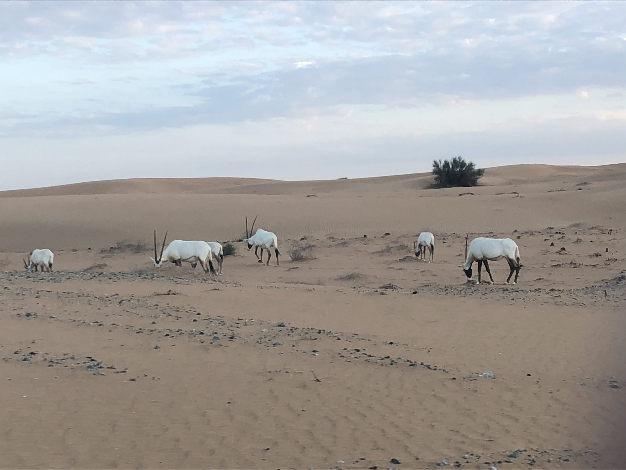 Animal símbolo dos UAE