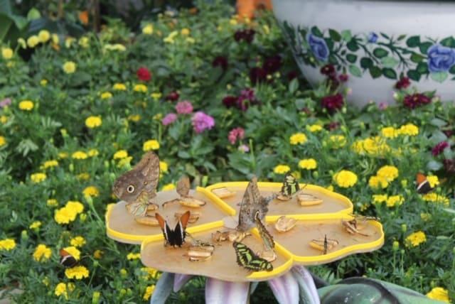 Borboletas se alimentando no Butterfly Garden