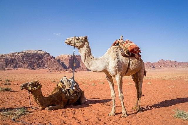 Camelos do Egito